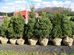 live christmas trees live christmas trees looking for my spot now to replant i