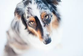 australian shepherd overbite 8 breeds prone to dental disease petmd