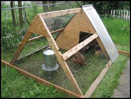 Can I Raise Chickens In My Backyard How To Raise Chickens All About Raising Organic Backyard Chickens