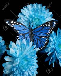 blue carnations blue carnations and butter fly vertical stock photo picture and