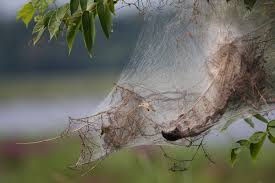 what are those spooky web looking things on tree branches