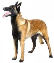 belgian shepherd 4 months not floppy ears but still love the breed floppy ears pinterest