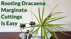 dracaena marginata cuttings root easily in water here u0027s how to