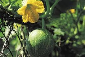 Growing Melons On A Trellis Diy Melon Trellis Home Guides Sf Gate