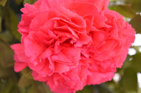 Carnation Flower Red Pink Carnation Flower Public Domain Pictures