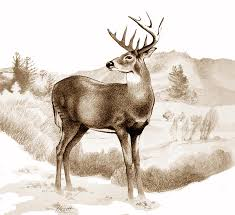 drawn stag white tailed deer pencil and in color drawn stag