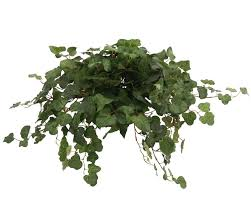 ivy kitchen curtains distinctive designs topper with silk swedish ivy hanging plant in