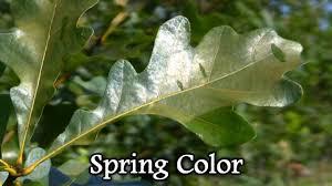 White Oak Leaf Plant A White Oak Tree Quercus Alba Best Wildlife Shade Trees