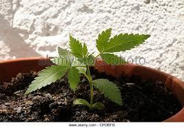 cannabis im garten cannabis cannabis indica stock photos cannabis cannabis