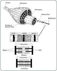 muscle contraction worksheet fts e info
