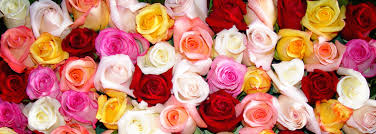 different color roses the different colored roses their meanings
