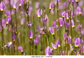 Flowers Near Me - california flowers stock photos u0026 california flowers stock images