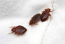 Bed Bug Home Remedies 7 Home Remedies To Combat Bed Bugs Wetellyouhowwetellyouhow