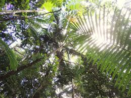 Under Canopy Rainforest by New Leaf Study Sheds Light On U0027shady U0027 Past Berkeley Lab