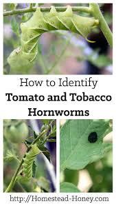 Garden Pests Identification - 432 best insects images on pinterest garden pests vegetables