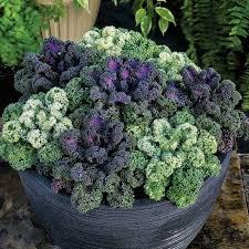 yokohama mix hybrid flowering kale horticultural products