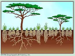 Dominant Plants Of The Tropical Rainforest - savanna flora ecological region britannica com