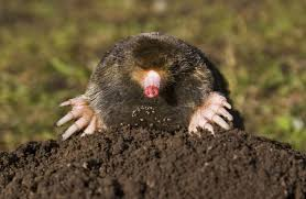 Can You Bury Animals In Your Backyard How To Get Rid Of Burrowing Animals In Your Yard Homesteading