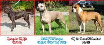 american pitbull terrier akc visual comparison of top winning ukc akc and adba dogs