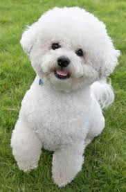 bichon frise good and bad 13 best dogs for cats which dog breeds get along with cats