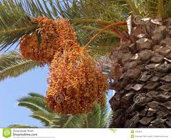 palm tree fruits royalty free stock photography image 1250467