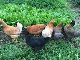 Backyard Chickens Com - ameraucana vs easter egger debacle backyard chickens