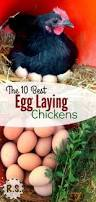 the 10 best egg laying chickens laying chickens egg and learning