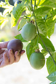 growing fruit it s easy if you can beat the bugs l a