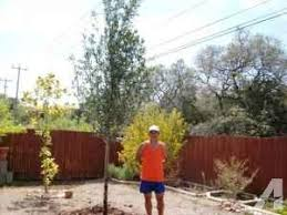 live oaks trees 45 gallon delivered lubbock area for sale in