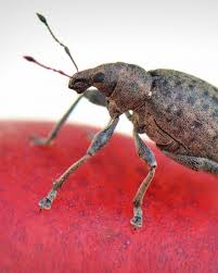 Little Black Bugs With Wings In Bedroom Household Bugs Get Rid Of Bed Bugs And More Greatist