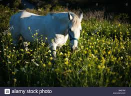 white horse wild spring flowers andalusia daisy daises country
