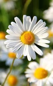 best 25 daisy flower photos ideas on pinterest daisy daisy