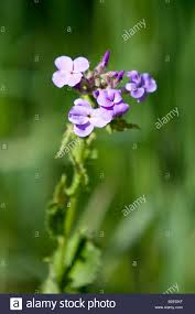 Michigan Vegetaion images Caryophyllaceae stock photos caryophyllaceae stock images alamy jpg