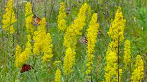 new england native plants native butterfly and pollinator plant list prairie haven