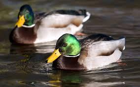 duck wallpaper 21