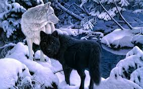 white wolf and black walldevil