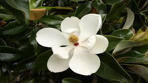 Magnolia Wallpaper Magnolia White Flower Hd Wallpaper Wallpapers13 Com