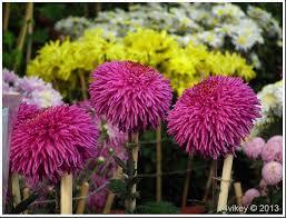 most popular flower chrysanthemum wallpaper tadka