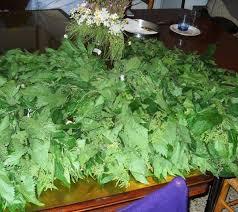 come cucinare l ortica oh il verde damasco dell ortica essiccata farina d ortica