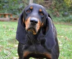 bluetick coonhound bloodlines the 120 best images about coonhound on pinterest coon hunting