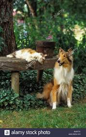 calico cat rough coated collie together in backyard garden stock