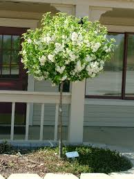 Lollipop Topiary Tree Trees And Shrubs Lifelong Plants Michigan Gardening Magazine