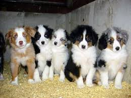 1 year old australian shepherd for sale shepherd puppies for sale