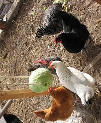 Chickens Backyard Raising Chickens In The Winter City Farming