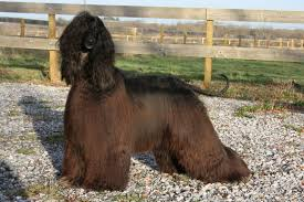 afghan hound times menuel galopin afghan hounds main news
