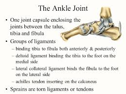 Lateral Collateral Ligament Ankle Chapter 9 Joints Fibrous Cartilagenous And Bony Joints Ppt