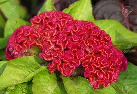 coxcomb flower an isolated of amaranthus coxcomb flower blooming stock
