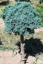 juniper blue on standard for sale fast growing trees