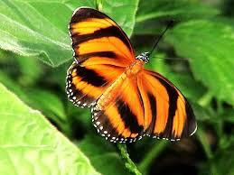 tiger stripes black butterfly frilled leaves orange striping white