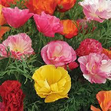 australian seed california poppy mission bell mix